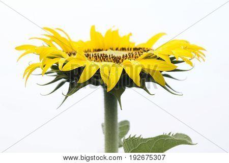 Yellow sunflower on plant, Tropical garden in Thailand