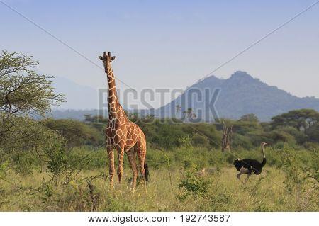 Ostrich and Giraffe. Tallest bird and Tallest Mammal in African savannah landscape
