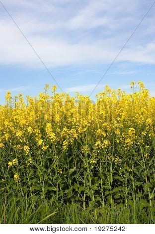 Oilseed Rapeseed Field