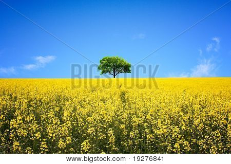 Lone ree in yellow rapeseed field