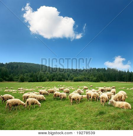 Schafherde auf schöne bergwiese