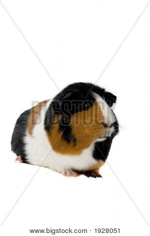 Portrait Of A Guinea Pig