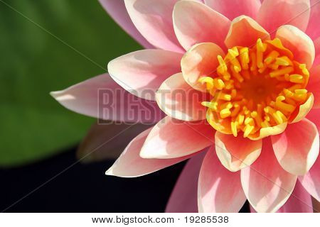 Close up of a pink water lily