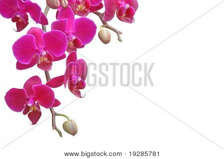Beautiful purple orchid on white