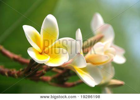 Frangipani in a tropical garden