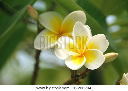 Frangipani in a tropical garden