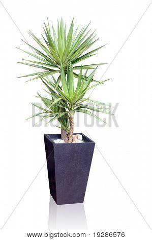Planta de casa - Yucca