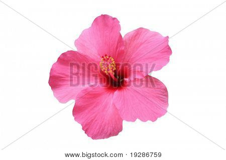 Hibiscus flower - isolated on white