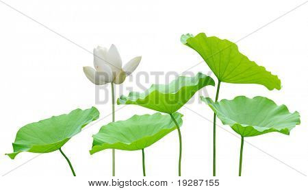 Lotus flower and leaf isolated on white