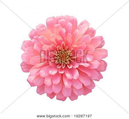 Dahlia isolated on white - path included