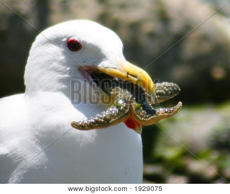 Seagul  With Starfish Lunch