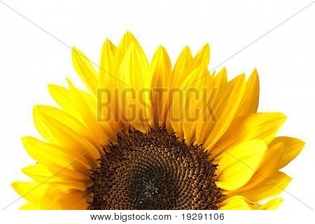 Partial view of sunflower head isolated on white background. Focus at center of flower.