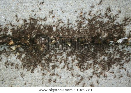 Ants On Sidewalk