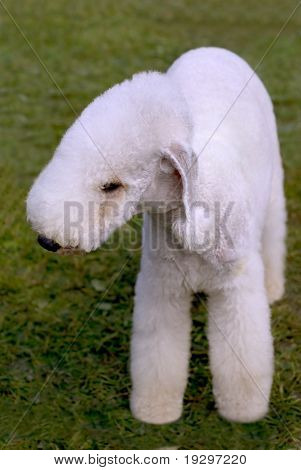 Dog Of Breed Kerry Blue Terrier On The Green Grass