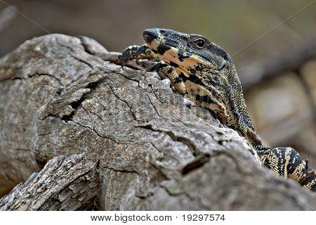 a lace monitor (goanna) sticks its head up and looks over a log