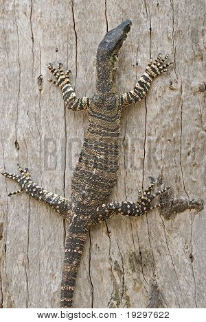a lace monitor (goanna) stops halfway up a tree