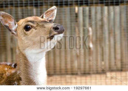 a nice small young deer with its head raised back watching the camera
