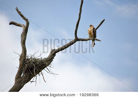 a whistling kite in a tree by its nest