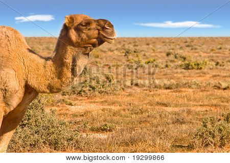 great image of a camel looking over australian desert