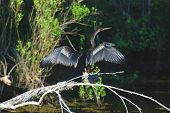 stock photo of bayou  - This Anhinga was taken in a Bayou southwest of New Orleans - JPG
