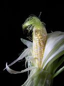 picture of gleaning  - Corn on the cob in the husk isolated on black