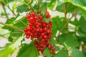 Bush Of Red Currant Berries In A Garden. poster