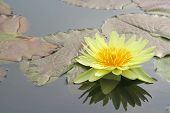 image of water lilies  - Yellow water lily and it - JPG