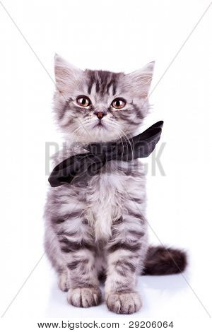 seated little silver tabby cat, wearing a big black neck bow on white background