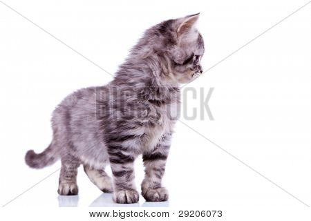 side view of a curious silver tabby baby cat looking at something on white background