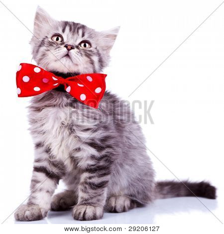 young silver tabby cat looking up, wearing a red ribbon on white background
