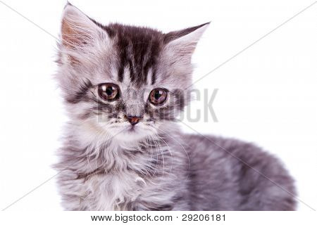 closeup picture of a cute baby silver tabby cat on white background