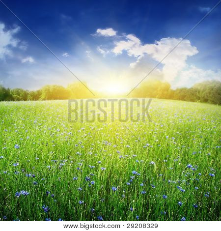 Bright sunlight over cornflower field.