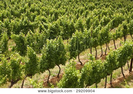 Grape Vines, Stellenbosch, South Africa