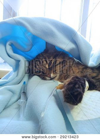 getting sick cat on a drip after surgery operation in veterinary clinic