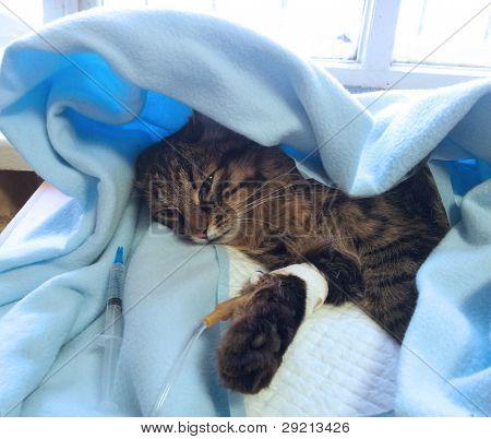 gato consigue enfermo en un goteo después de la operación de cirugía en la clínica veterinaria