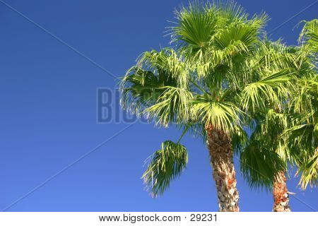 Classic Florida Palm Trees