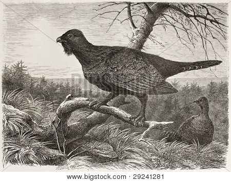 Western Capercaillie old illustration (Tetrao urogallus). Created by Beckmann, published on Merveilles de la Nature, Bailliere et fils, Paris, ca. 1878