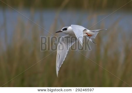 Flying Forster's Tern