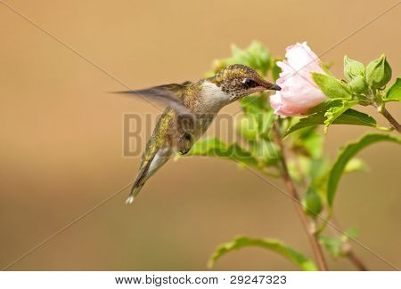 Juvenile male Hummingbird feeding on a pale pink Althea flower
