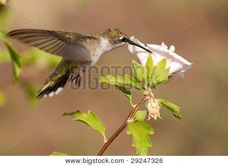 Young male Hummingbird feeding on a pink flower