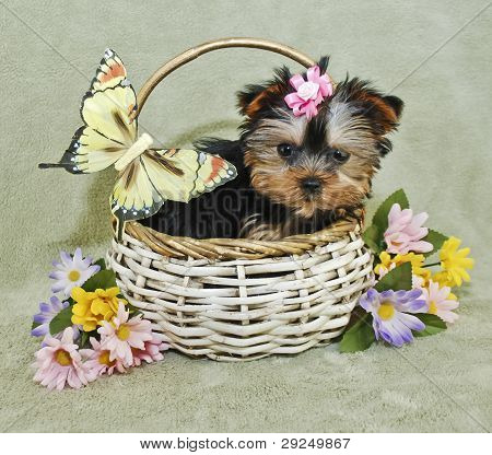 Very Cute Yorkie Puppy