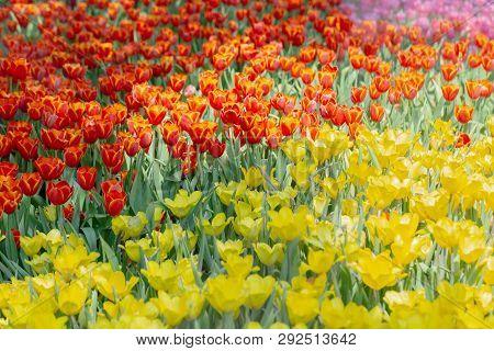 Tulip Flower Flower In Garden