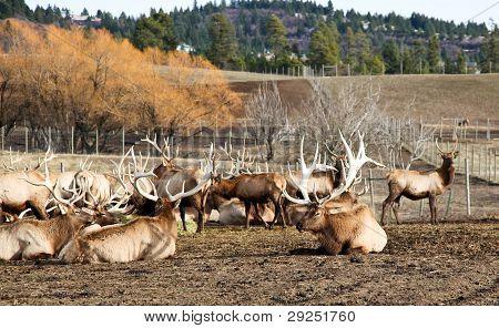 Herd Of Bull Elk