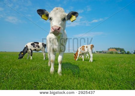 Cute Baby Cow