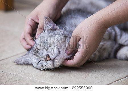 poster of American Shorthair Cat,hand Holding American Shorthair Cat,cute American Short-haired Cat Sleeps