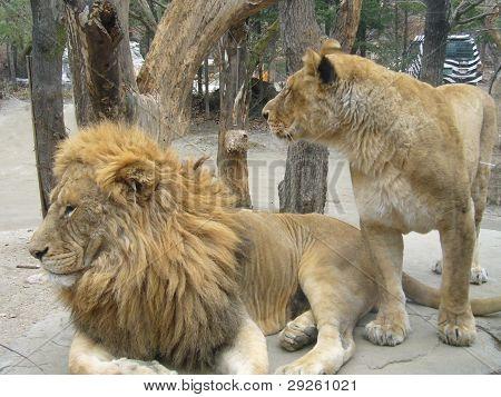 Lion & Lioness in Safari Zoo
