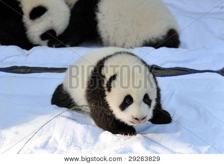 Um panda recém-nascido