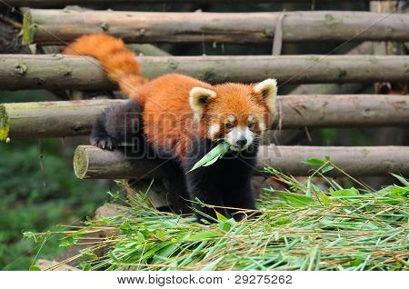 Curious Red Panda Bear