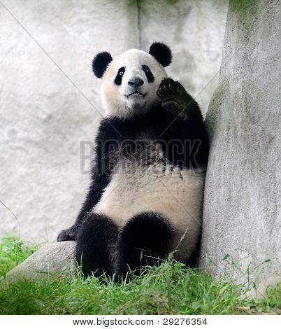 Giant panda bear waving hand