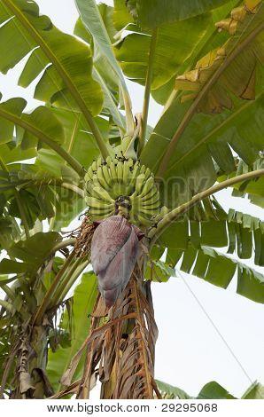 Banana bud and bunch